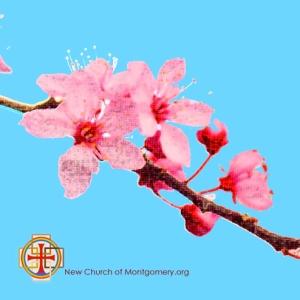 cherry-blosson-ncom